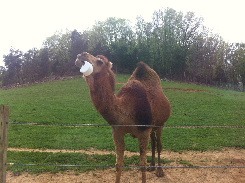 camels eatin plastic