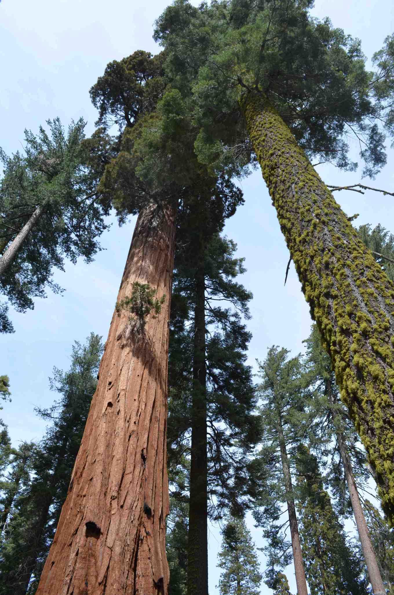 big trees